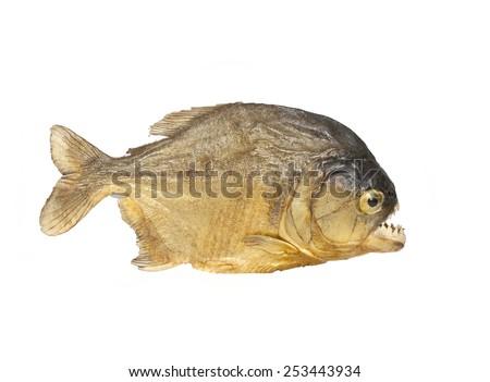 piranha fish on white background, Piranha fish - stock photo
