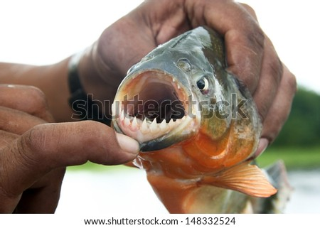 Piranha fish with his mouth open - stock photo