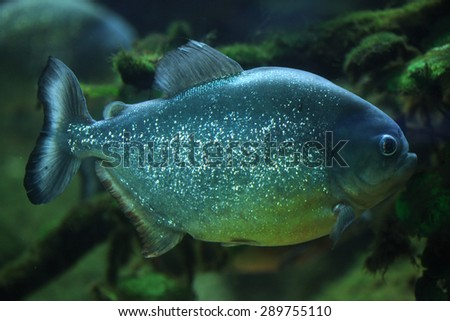 Piranha (Pygocentrus piraya), also known as the man-eating piranha. Wildlife animal.  - stock photo