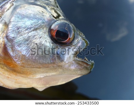 Piranha (Serrasalmidae) in the tributary of the Rio Negro, Amazonas, Brazil - stock photo