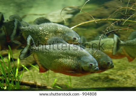 Piranhas - stock photo