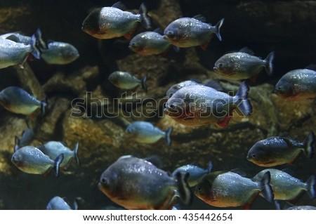 Piranhas fish flock, red bellied pacu, diving, tropical underwater predator hunting, Pygocentrus Nattereri, reef and rocks on background, wildlife  - stock photo