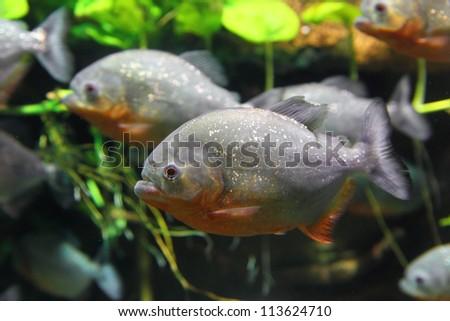 piranhas fish underwater - stock photo