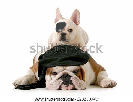 pirate dogs - english and french bulldogs dressed up like pirates on white background - stock photo
