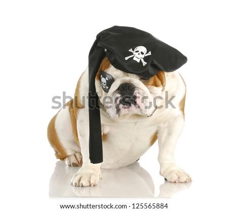 pirate - english bulldog wearing pirate costume isolated on white background - stock photo