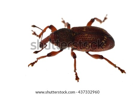 Pissodes weevil isolated on white. - stock photo