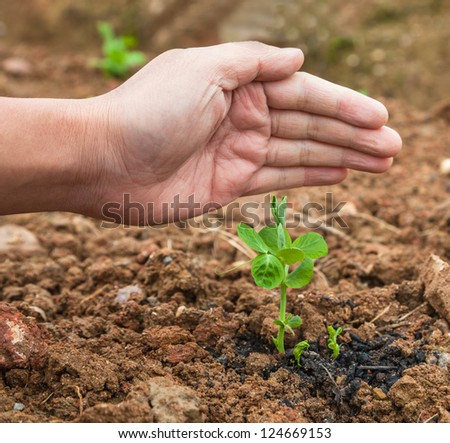 pisum sapling in the garden protected by a hand