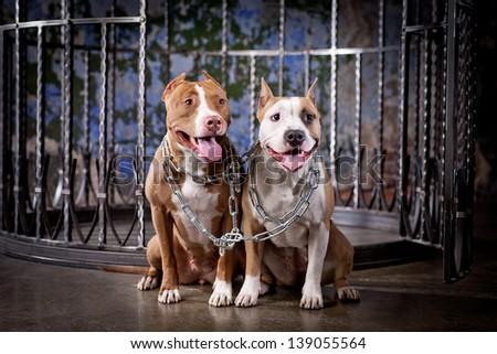 pit bull dog - stock photo