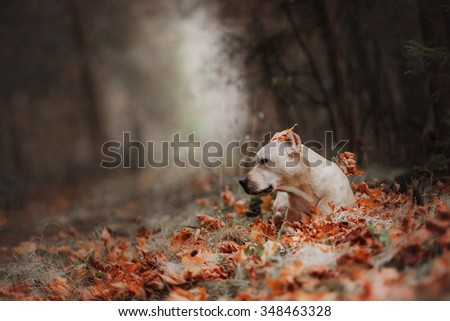 Pit bull dog on the nature, walking in autumn park - stock photo