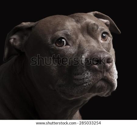 Pit bull dog portrait on black background - stock photo