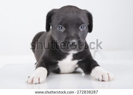 Baby Pitbull Puppies
