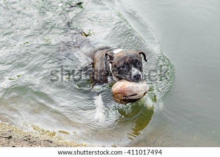 Pit bull dog swimming in the water - stock photo