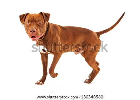 Pit Bull dog walking against a white background - stock photo