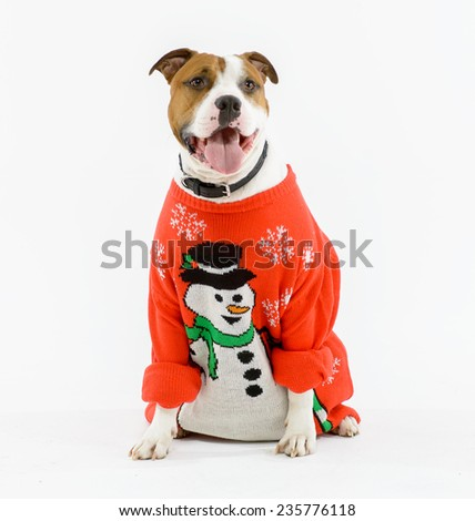 Pit bull dog wearing a Christmas sweater