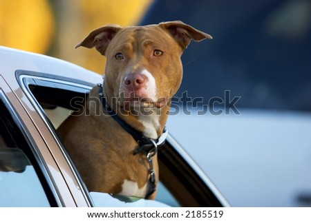 Pit Bull dog with his head out of a car window