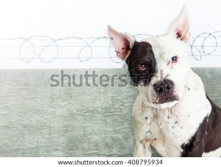 Pit Bull guard dog sitting in front of a barbed-wire fence  - stock photo