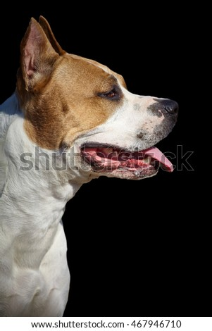 pit bull in profile on a black background