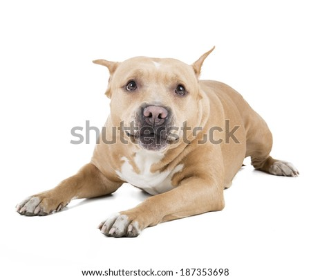 pit bull on a white background in studio