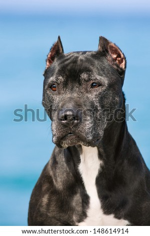 Pit Bull on the beach of the Black Sea