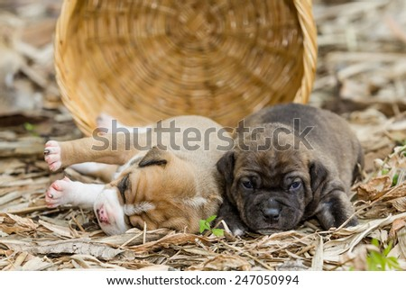 pit bull puppy dog sleeping on sward - stock photo
