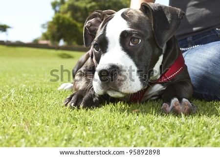 Pit Bull puppy laying on the ground with red leash - stock photo