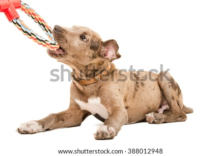 Pit bull puppy playing lying isolated on white background - stock photo