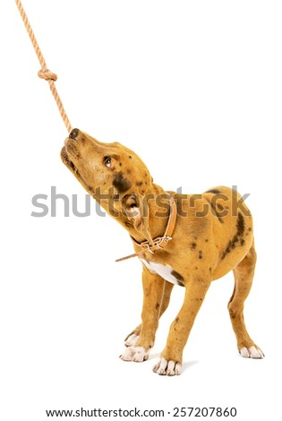 Pit bull puppy playing with a rope standing isolated on white background - stock photo