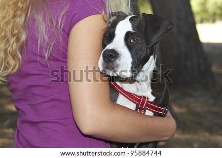 Pit Bull puppy staring around arm of dog owner