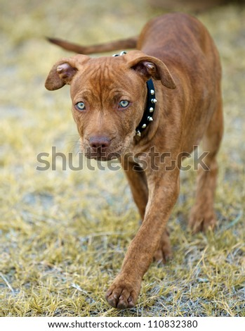 pit bull puppy with intense blue eyes walking in the dead winter grass