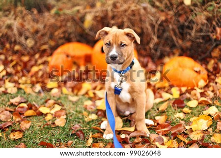 Pit Bull Shepherd mix puppy sits in fall leaves with pumpkins - stock photo