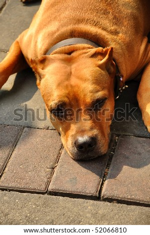 Pit Bull Terrier  Flop Brown