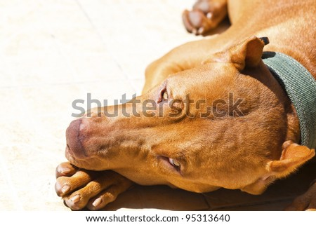 Pit Bull Terrier Flop Brown - stock photo