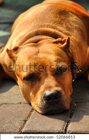 Pit Bull Terrier  Flop Brown Head - stock photo