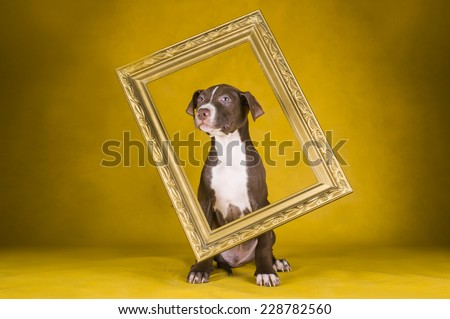 pit bull terrier puppy on yellow background - stock photo