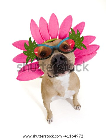 pit bull with flower headband