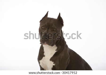 pit bull with tongue out on white
