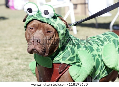 Pitbull at the park posed for portrait in his frog Halloween costume - stock photo