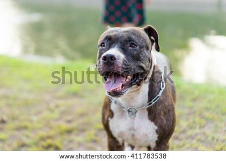 pitbull dog playing on lawn - stock photo