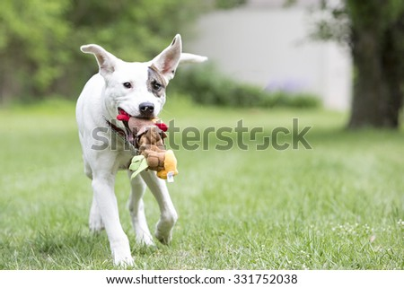 Pitbull dog playing with a toy running outside - stock photo