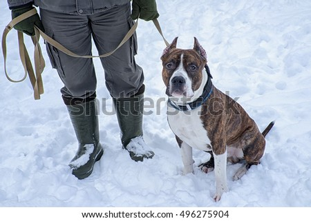 Pitbull Dog sitting near the trainer man on the snow, during training course.