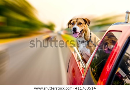 pitbull dog traveling on pickup car - stock photo