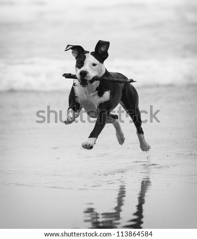 Pitbull on the beach - stock photo