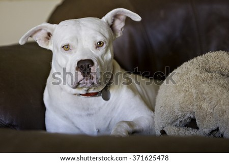 Pitbull on the couch - stock photo