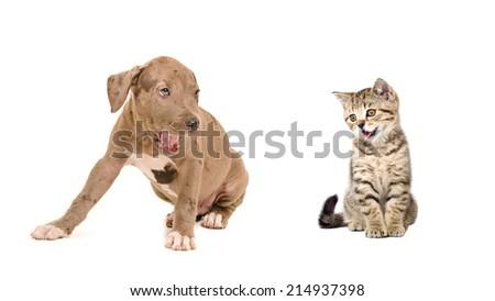 Pitbull puppy and kitten Scottish Straight yawn together - stock photo