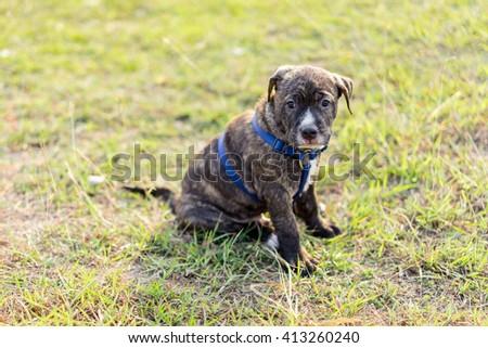 pitbull puppy dog sitting on lawn - stock photo