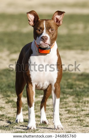 Pitbull puppy posing at the park with her ears up - stock photo