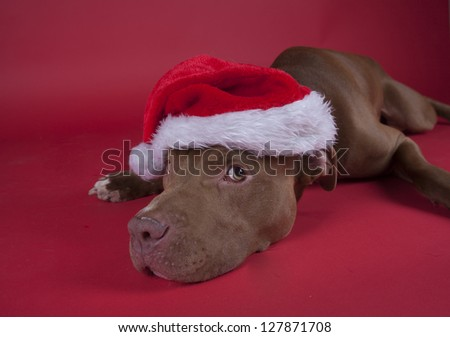 Pitbull sitting on red background - stock photo