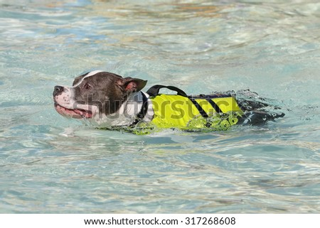 Pitbull swimming in the pool in a life vest - stock photo