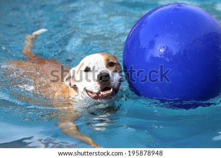 Pitbull swimming with her ball in the pool - stock photo