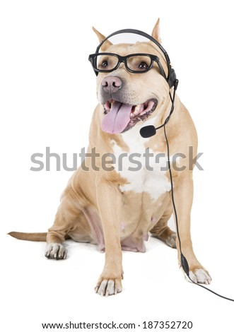 pitbull with glasses and headset on white background in studio